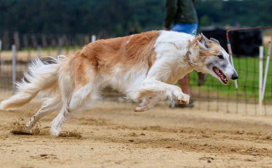 gana dinero con carreras de perro ganador