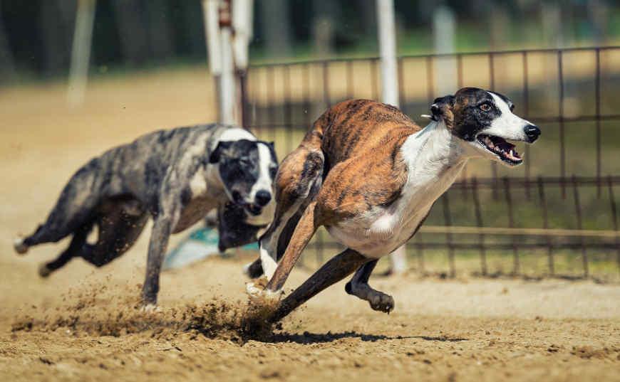 ganar dinero en carreras de perros