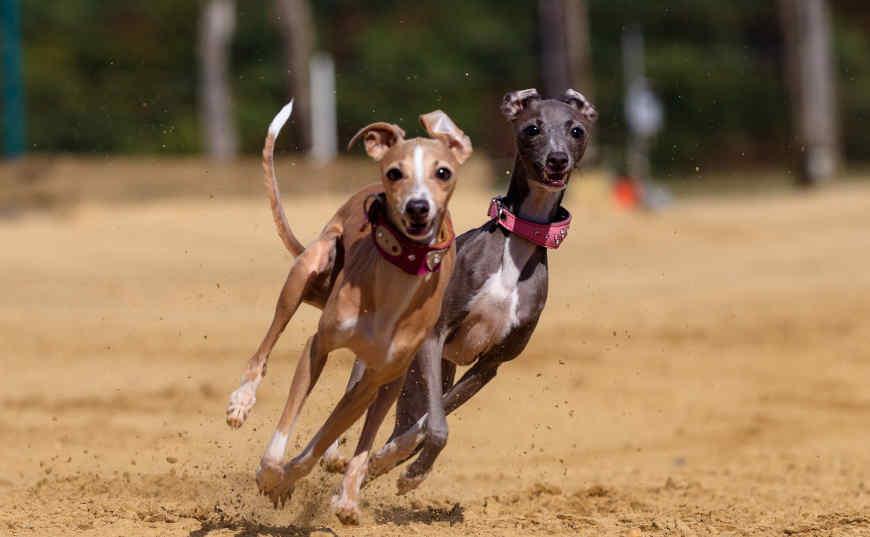 gana dinero con carreras de perros